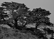 Point-lobos017-version-2