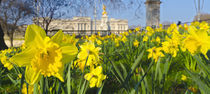 England, London, Buckingham Palace in Spring von Alan Copson
