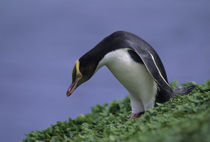 Yellow-eyed Penguin by Wolfgang Kaehler