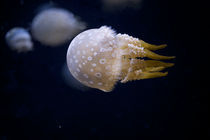 Majestic floating jelly fish on black background,  Qualle von Carl Tyer