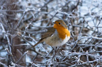 A-cute-robin-a