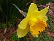 Daffodil 3 by Deborah Willard