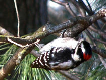 Downy Woodpecker by Deborah Willard