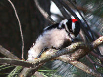 Downy Woodpecker at Work von Deborah Willard