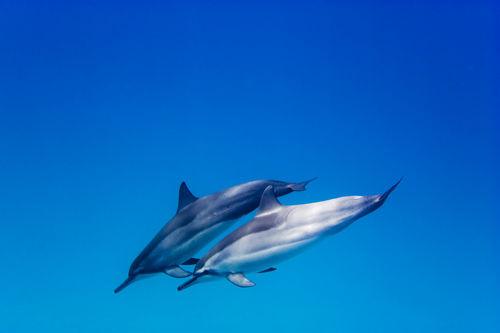 Dolphinpair