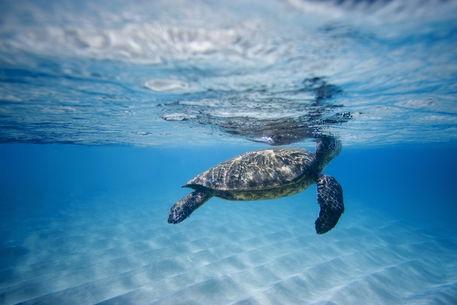 Hawaiian-sea-turtle-24