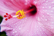 Pink-hibiscus-050210-0013