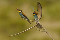 Bee Eater 2 von Simon Littlejohn