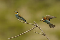Bee Eater 3 von Simon Littlejohn