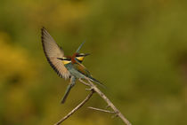 Bee Eater 4 von Simon Littlejohn