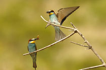 Bee Eater 5 von Simon Littlejohn