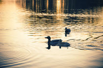 Enten beim Abendbad by Thomas Schaefer