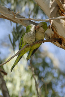 Lorikeets Kissing 1 by Simon Littlejohn