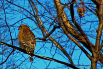 Red-shouldered hawk by Deborah Willard