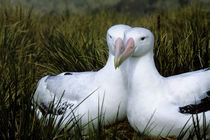 Albatross Pair by Wolfgang Kaehler