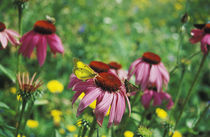 Butterflies and Echinacea flowers von Melissa Salter