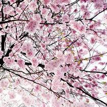 Kirschblüten von oc
