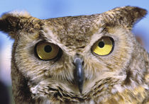 Great Horned Owls are common in the rural areas of Central Oregon. by Danita Delimont