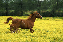 Arabian foal and mare runnning through buttercup flowers, Louisville, Kentucky von Danita Delimont