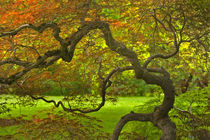 Dramatically contorted Japanese maple tree in the Bush House garden. Credit as von Danita Delimont