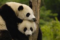 Giant panda babies (Ailuropoda melanoleuca) Family von Danita Delimont