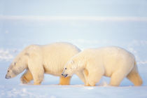 polar bears, Ursus maritimus, walking on the frozen Arctic ocean by Danita Delimont
