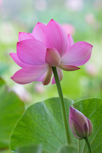 Franklin NC, Perry's Water Garden, Lotus blossom with leaves by Danita Delimont