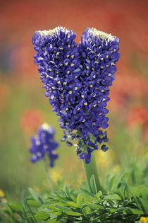NA, USA, Texas Hill Country. Double flowered Texas Bluebonnet von Danita Delimont