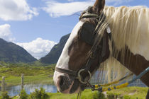 Horse, Gap of Dunloe, County Kerry, Ireland von Danita Delimont