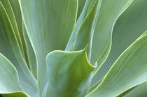 N.A., USA, Maui, Hawaii.  Agave plant. by Danita Delimont