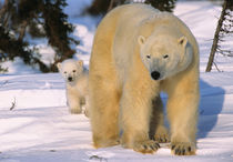 Female Polar Bear Standing with one cub or coy behind, Canada, Manitoba von Danita Delimont