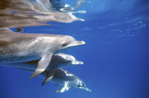 Atlantic spotted dolphins.  Bimini, Bahamas. by Danita Delimont