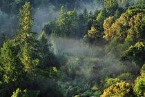 Coast redwoods and fog, Sequoia sempervirens, Majors Canyon by Danita Delimont