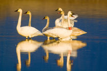 Trumpeter swan family in last light at pond at the Ninepipe NWR in Montana von Danita Delimont
