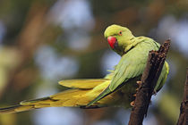Roseringed Parakeet, Keoladeo National Park, India. by Danita Delimont