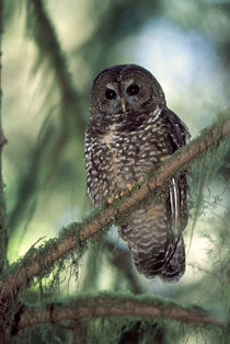 Oregon Coastal Range. a Northern Spotted Owl (Strix occidentalis) von Danita Delimont
