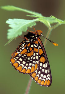Michigan, Oakland County Checkerspot Butterfly roosting (Euphydryas phaeton). by Danita Delimont