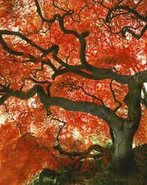 USA, Oregon, Portland, Underside of Japanese maple tree in garden. Credit as by Danita Delimont