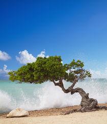 Divi Divi Tree, Eagle Beach, Aruba, Caribbean von Danita Delimont