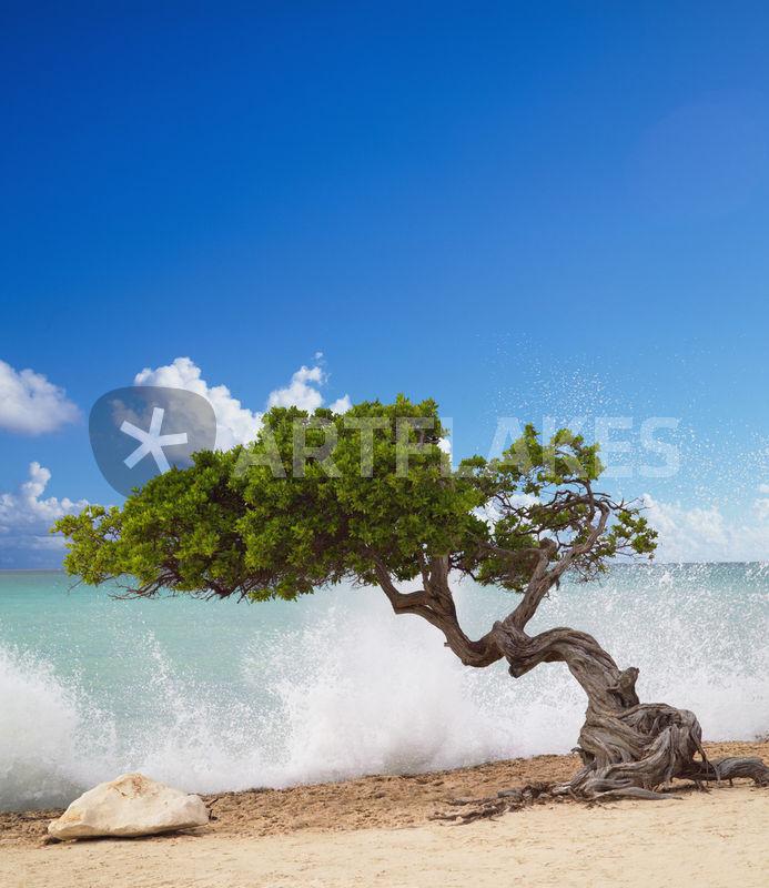 Divi divi tree eagle beach aruba caribbean picture - Divi beach aruba ...