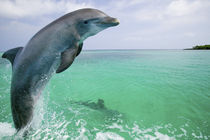 Bottlenose Dolphins (Tursiops truncatus) Caribbean Sea by Danita Delimont