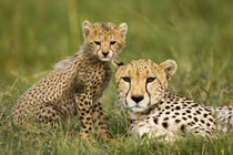 Cheetah, Acinonyx jubatus, with cub in the Masai Mara GR, Kenya. by Danita Delimont