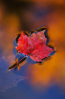 USA,New Hampshire,White Mountains,Maple Leaf in Fall Reflections. Credit as von Danita Delimont