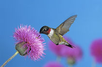 Ruby-throated Hummingbird von Danita Delimont