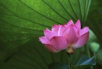Ohga Lotus, Sankei-en Garden, Yokohama, Japan by Danita Delimont