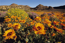 Flowering namaqua daisies, Namaqualand, Goegap Nature Reserve, South Africa by Danita Delimont