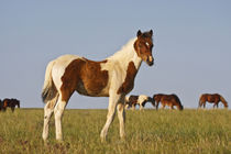 Feral Horse (Equus caballus) colt with herd in the high by Danita Delimont