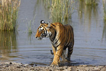 Royal Bengal Tiger in the Rajbagh Lake, Ranthambhor National Park, India. by Danita Delimont
