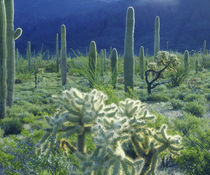 USA, Arizona, Organ Pipe Cactus National Monument by Danita Delimont