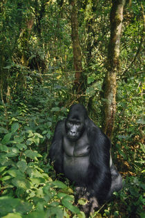 Eastern lowland gorilla, Gorilla gorilla graueri, Kahuzi Biega National Park von Danita Delimont